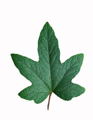 Beautiful green leaf isolated on white background / Green Maple