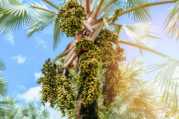 palm fruit on tree in the garden on bright day and blue sky background