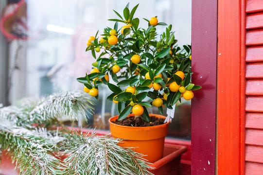 Mandarin tree and fir-tree branch on window sill. Indoor citrus tree growing