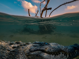 Alligator Saltwater crocodile hiding under water line, dry tree in sea water with sunset clouds on background, underwater shot..