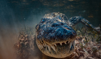 Poster de jardin Crocodile American Saltwater alligator crocodile in water very close underwater shot