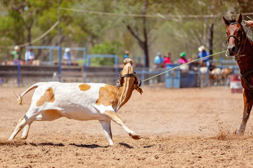 Calf Roping At Country Rodeo Team Sport