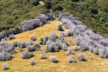 Triangle of dead and live trees, Canterbury, New Zealand