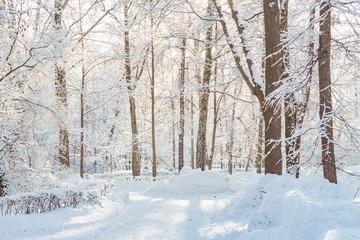 Frossty winter landscape. Trees in snow