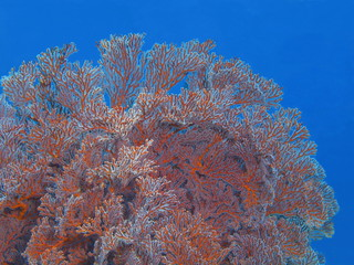 The amazing and mysterious underwater world of Indonesia, North Sulawesi, Bunaken Island, gorgonian coral