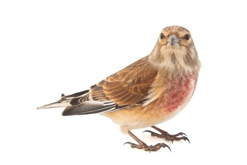 Common linnet, Carduelis cannabina, isolated on white background. Male.