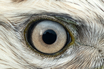 Buzzard eye close-up, macro photo, eye of the male Rough-legged Buzzard, Buteo lagopus