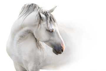 Autocollant pour porte Chevaux Grey andalusian horse with long mane close up portrait on white background. High key image