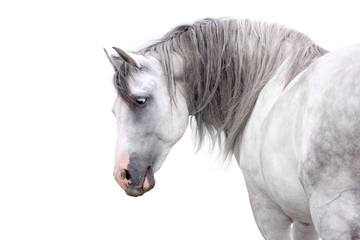 Fototapeta Grey andalusian horse with long mane close up portrait on white background. High key image