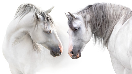 Two grey horse couple portrait on white. High key image