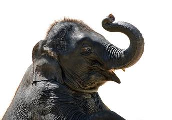 Asian baby elephant on a white background.