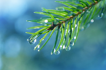 Wall Mural - Drops of rain on the needles of the spruce branch close up. Spring nature background.