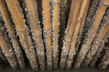 Barnacles on bamboo.