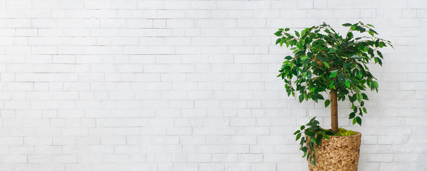 Houseplant green ficus tree over white brick wall