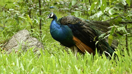 Peacock stand on green grass in tropical green forest.