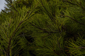 Beautiful winter backdrop. Nice fir branches. Close up. Wonderful background for your text.