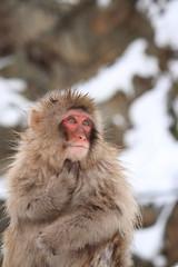 雪の中のニホンザル(Snow Monkey)