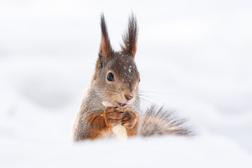 Photo sur Aluminium Squirrel squirrel snow winter