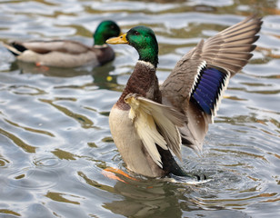 Duck takes off in the pond