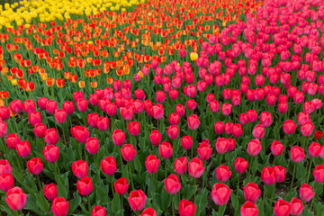 Multicolored tulips in the park as a background