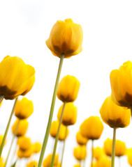 Yellow tulips in the park as background