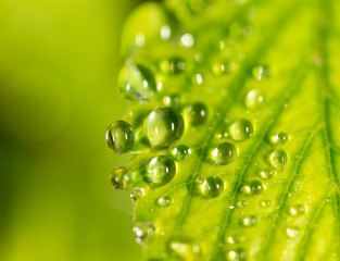 Water drops on a green leaf of strawberry