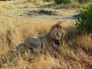 Foto de leon tumbado en la sabana africana, Parque Natural de Kenia.