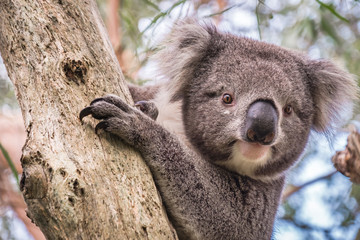 Deurstickers Koala Wild koala climbing up a tree in Adelaide Hills, South Australia