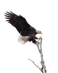 Wings and claws spread wide open, a bald eagle is laser focused on landing at the top of a birch tree. White background