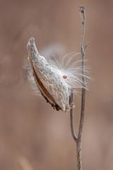 Silky Seed of a Milkweed Pod