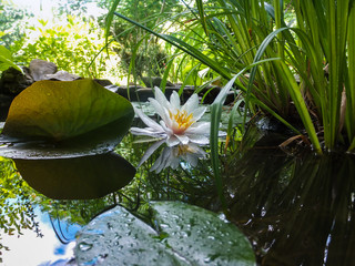 Foto op Canvas Waterlelies Magic white water lily or lotus flower Marliacea Rosea reflected in pond mirror with sky and leaves. Petals of Nymphaea in transparent drops. Stones and blurred nature on background. Selective focus.