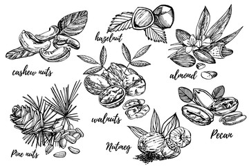 Almonds, Pecan, Cashew nuts, Hazelnut, Pine nuts, Walnuts and Nutmeg sketch illustrations. Graphic Hand drawn illustrations isolated on white background.