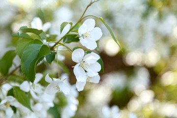Spring blossom of apple tree with white flowers. Close-up flowers of apple tree in light of cloudy day