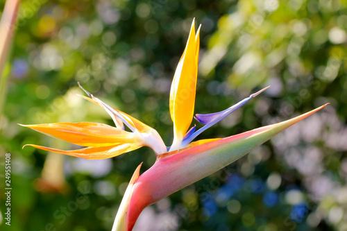 Fleur Strelitzia Oiseau Du Paradis Orange Plante Exotique Rustique