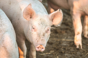 Young pink pigs in the farm. Animal protection concept
