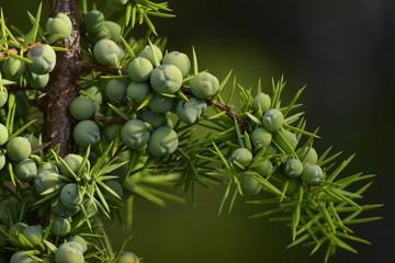 frutos verdes de enebro silvestre  que crece en la patagonia
