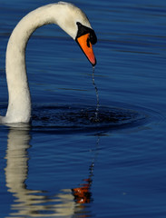 A swan is seen reflected as it feeds in the Serpentine lake in Hyde Park in London, Britain