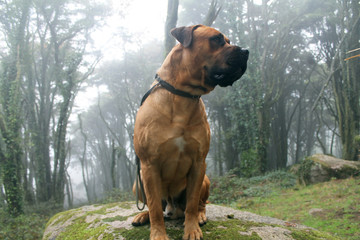 Big Dog (Boerboel Breed) sitting in a big rock in the middle of a Beautiful green forest