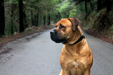 Big Dog (Boerboel Breed) sitting in the middle of a road with a beautiful green forest background