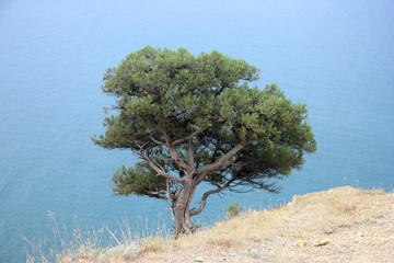 a lonely single green pine tree on the white rocky surface of a steep cliff on the rocky coastline of the blue sea background