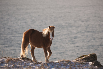 beautiful icelandic horse on the edge of the cliff overlooking the sea on a sunny morning