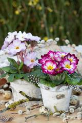 Primeln in Pink und Lila in Birkenrinden-Töpfen