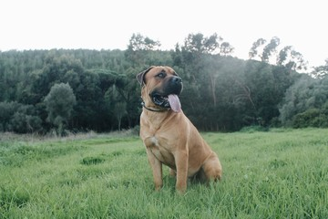 Big dog (Boerboel Breed) sitting in grass with beautiful dark green landscape forest background