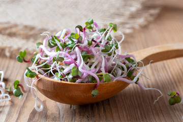 Fototapeta Fresh pink radish sprouts on a wooden spoon obraz