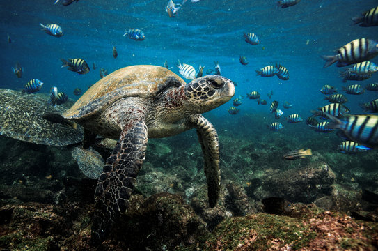Green sea turtle and sergeant major fish, Galapagos Islands