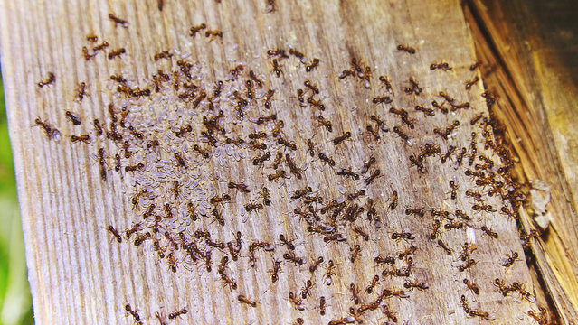 Ants inside woods of house