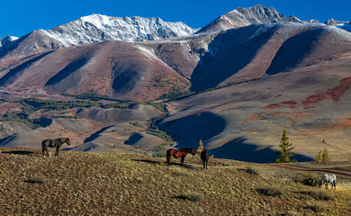 Autumn landscape. Wild horses are grazing in the valley. Kurai steppe and mountain range. Altai Mountains. Siberia. Russia