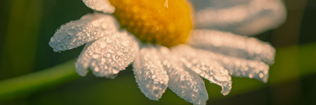 Daisy flower meadow covered with drops of dew in the early morning. Close-up.