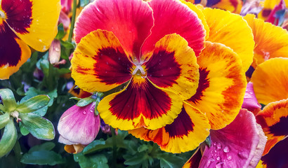 wet pansy flowers (viola tricolor) on a flower bed after rain close up floral background