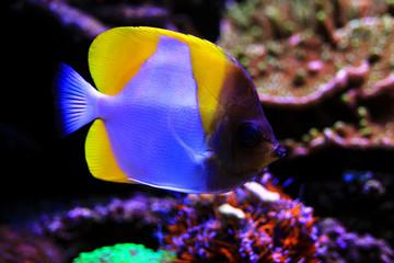 Yellow Pyramid Butterflyfish - (Hemitaurichthys polylepis)